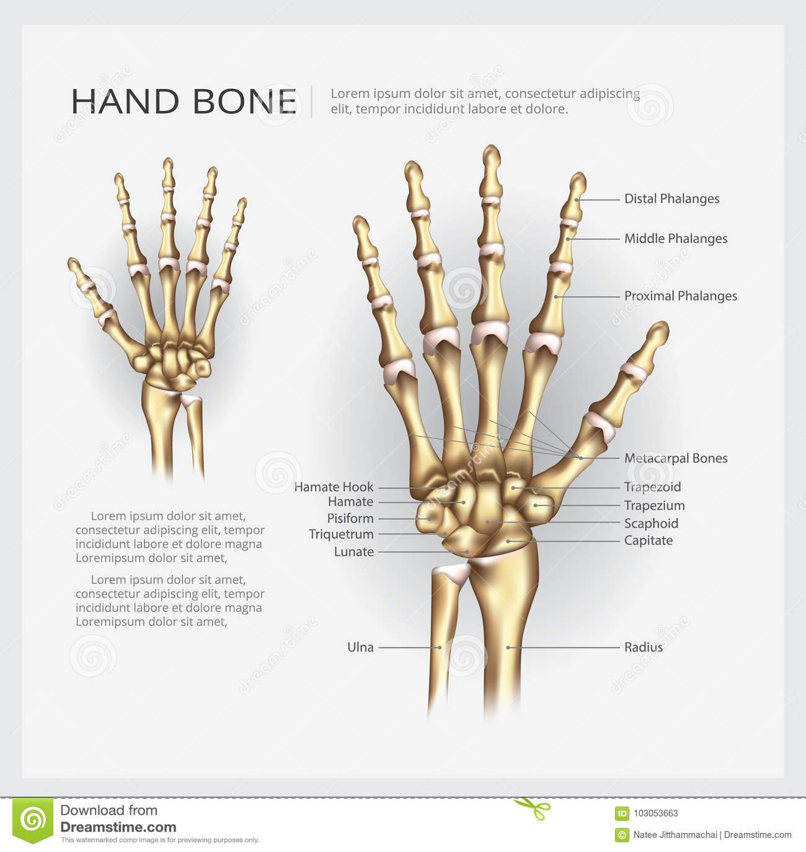 Human Anatomy Hand Bone Stock Vector Illustration Of Bone 103053663