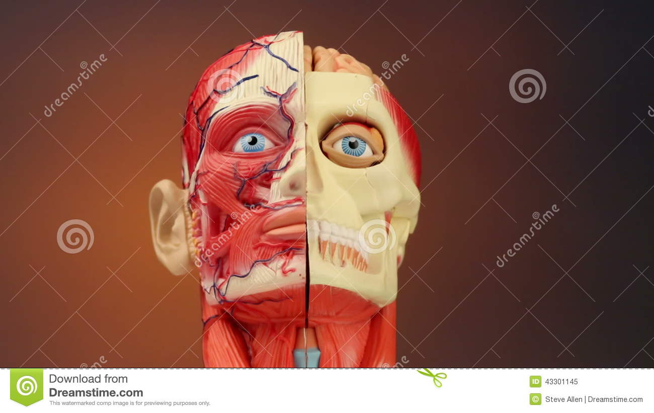 Human Anatomy Hd Stock Footage Image Of Human Facial 43301266