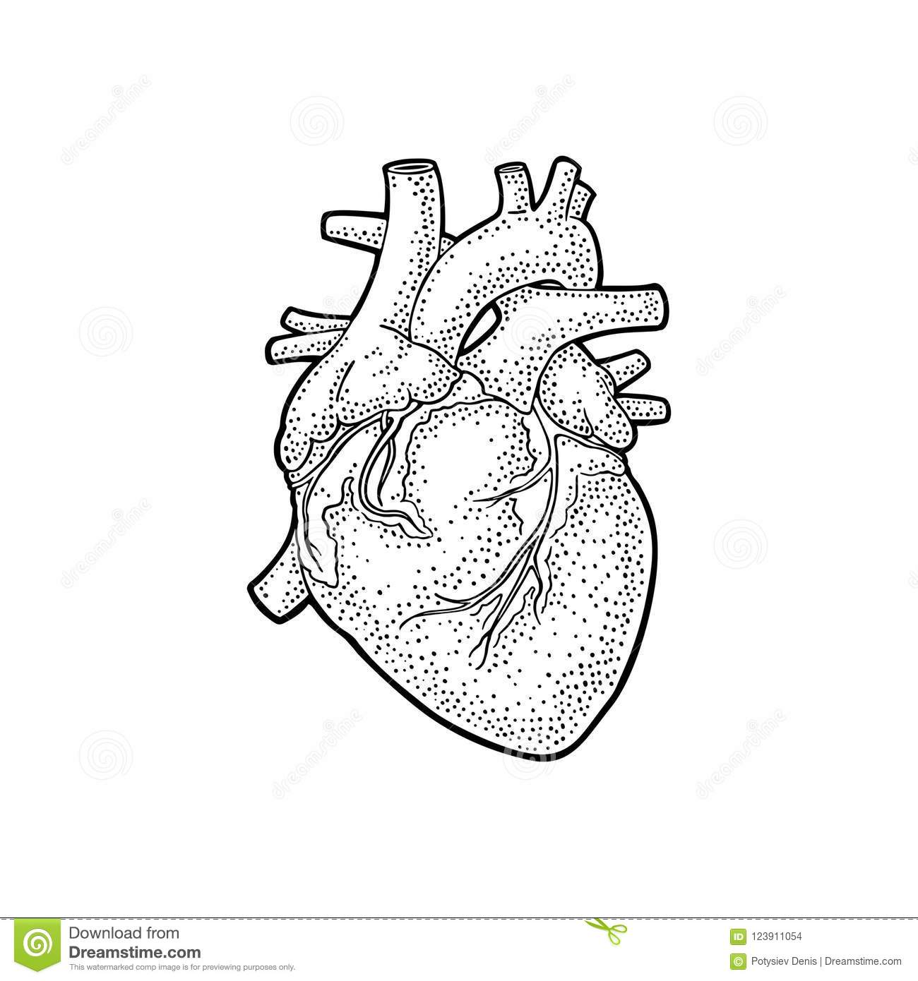 Human Anatomy Heart. Vector Black Vintage Engraving Illustration ...