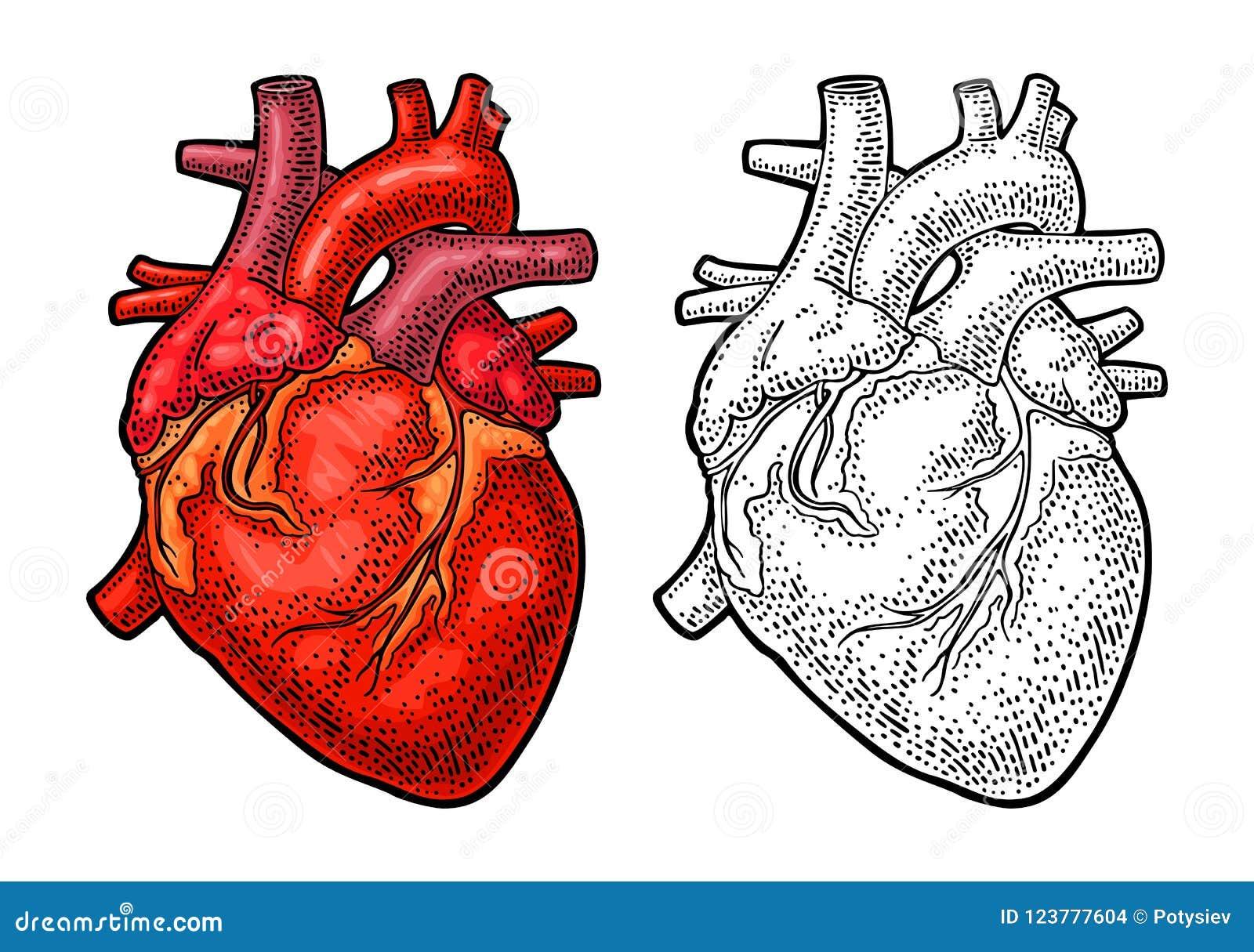 Human anatomy heart. Vector color vintage engraving illustration