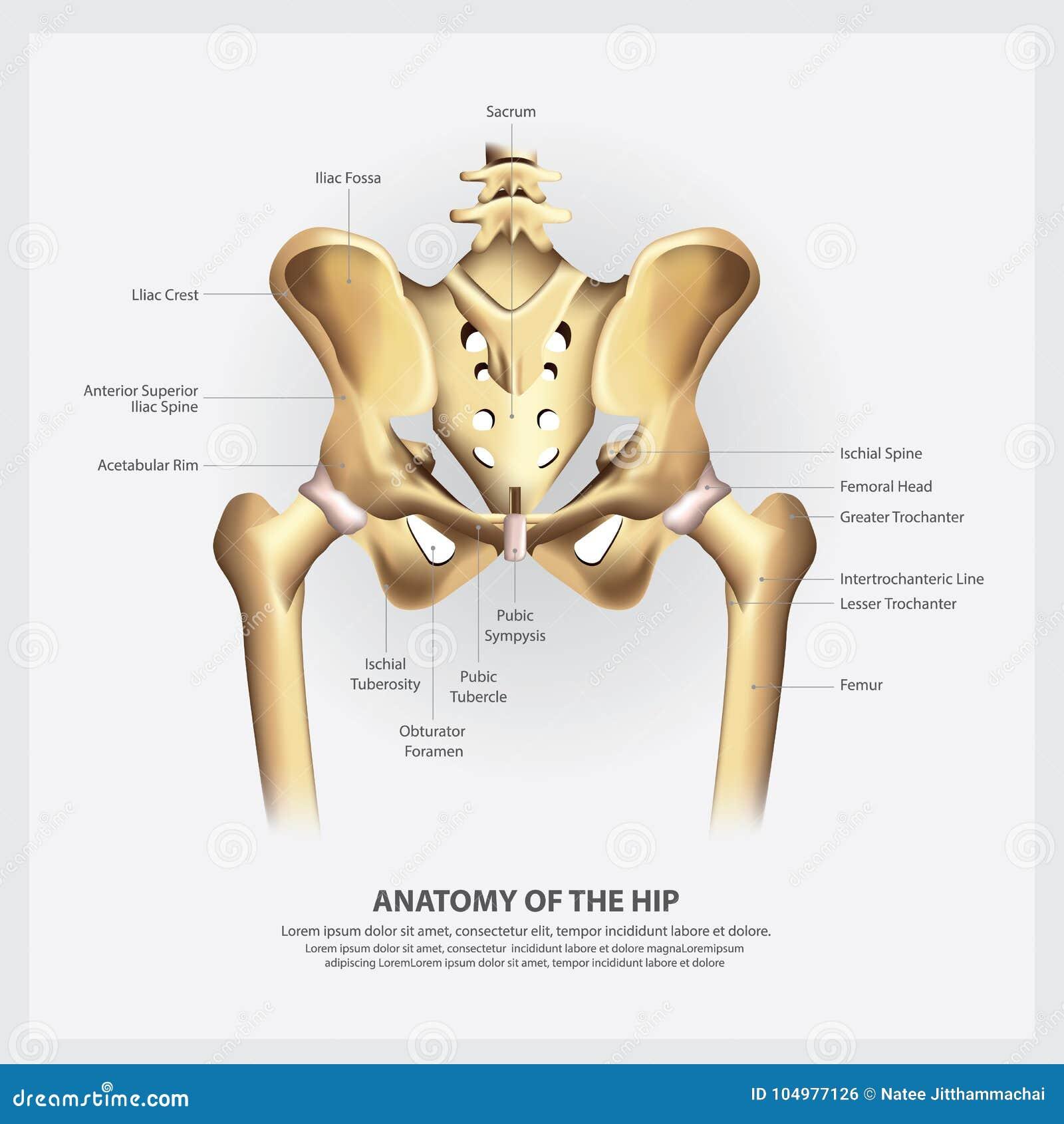 Human Anatomy of the Hip