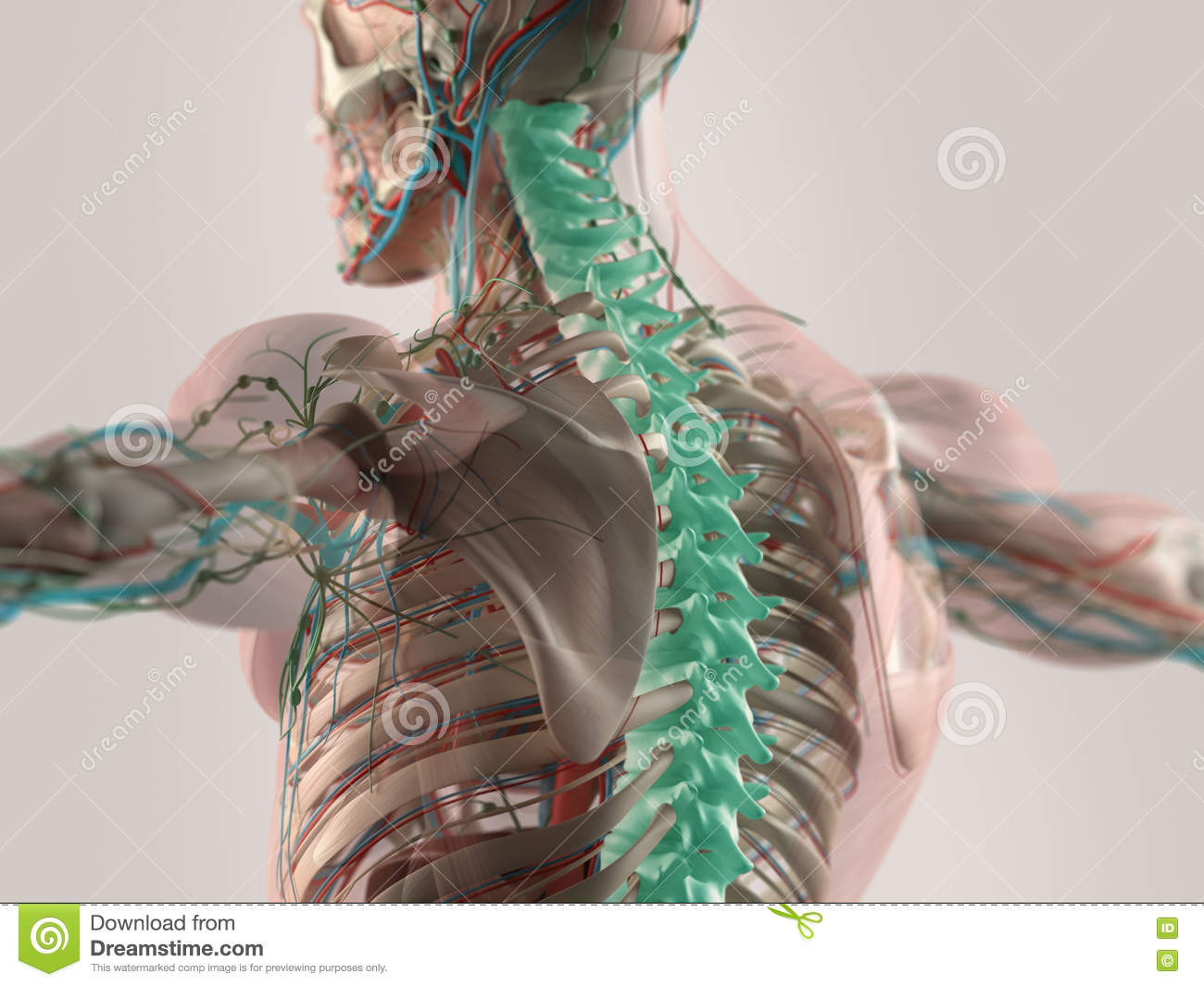 Human Anatomy Illustrated Stock Image Image Of Human 67626963