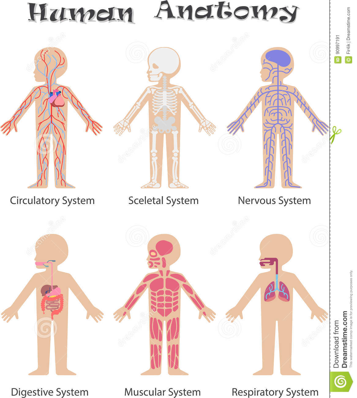 Human Anatomy Stock Vector Illustration Of Body Health 90997191
