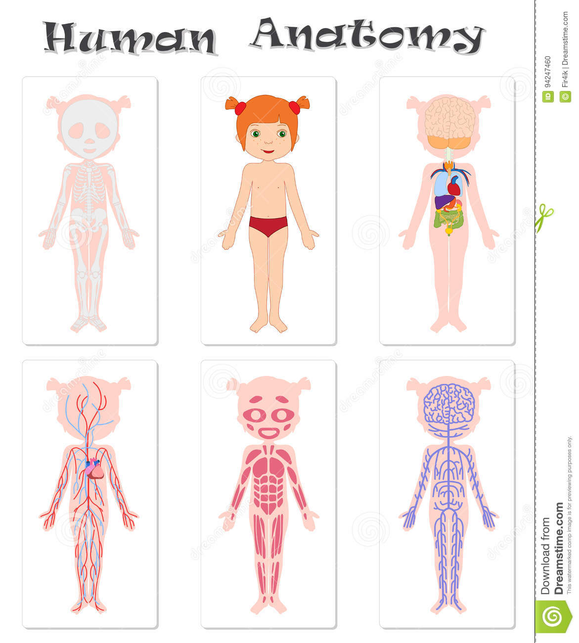 Human Anatomy For Kids Stock Vector Illustration Of Image 94247460
