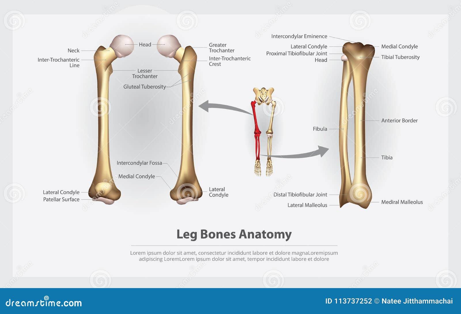 Funky Trochanter Bone Photo - Anatomy and Physiology Tissue ...