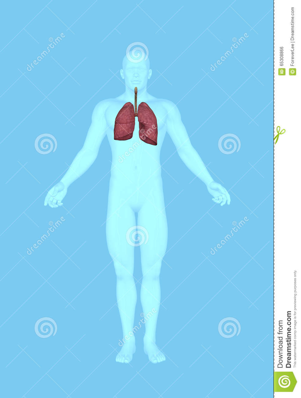 Human Anatomy Of Male Lungs Stock Illustration - Illustration of ...