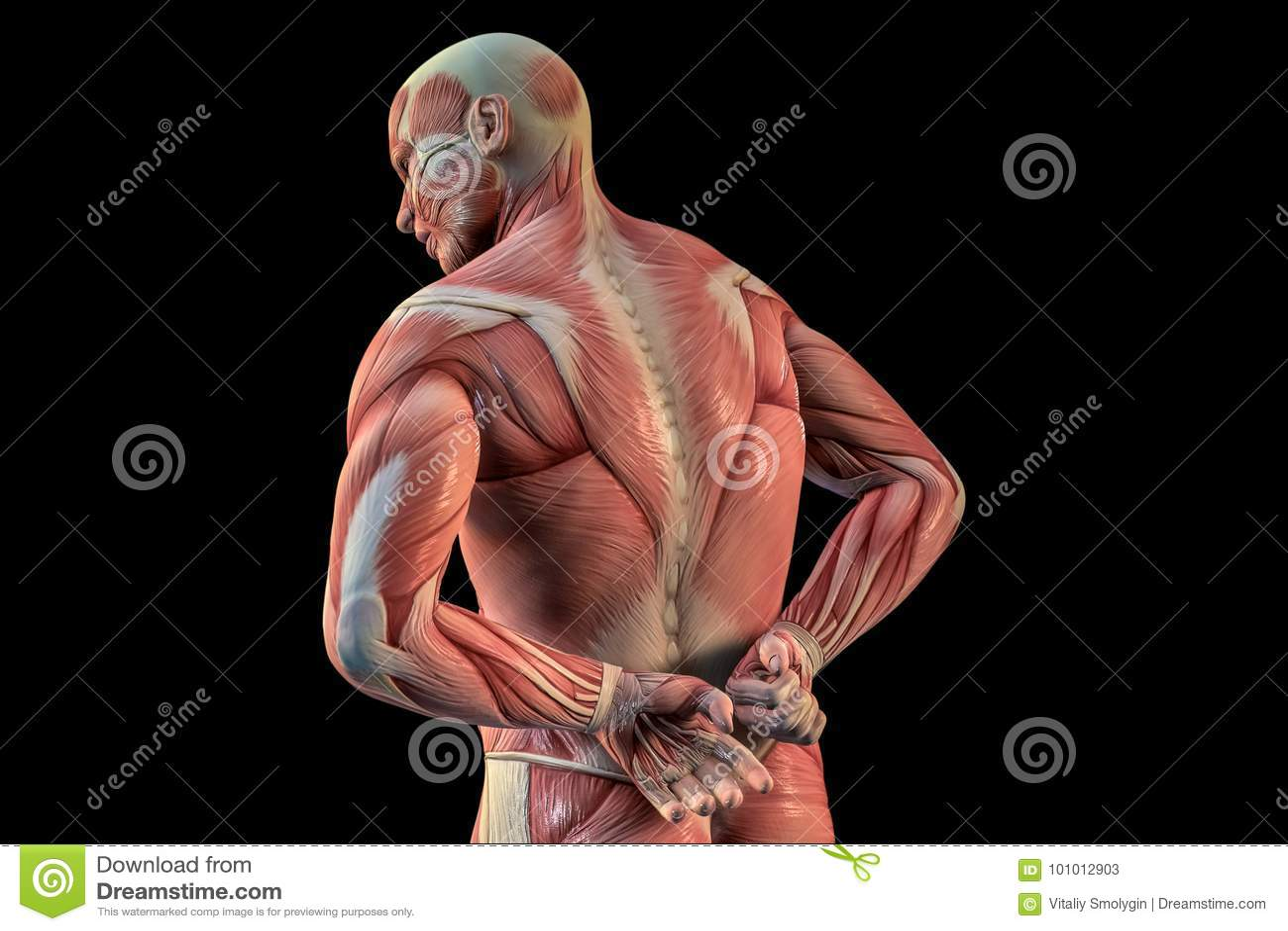 Human Anatomy Male Muscles 3d Illustration Stock Illustration