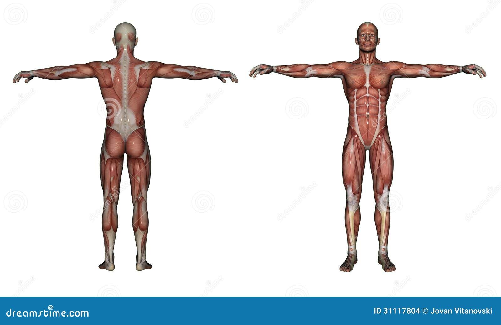 Human Anatomy - Male Muscles Stock Illustration - Illustration of ...