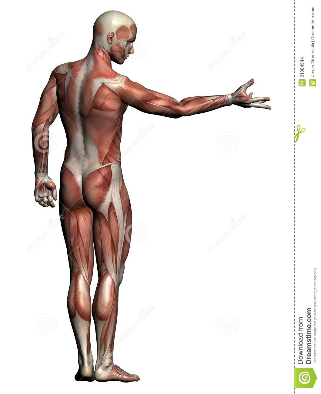 Human Anatomy Male Muscles Stock Illustration Illustration Of