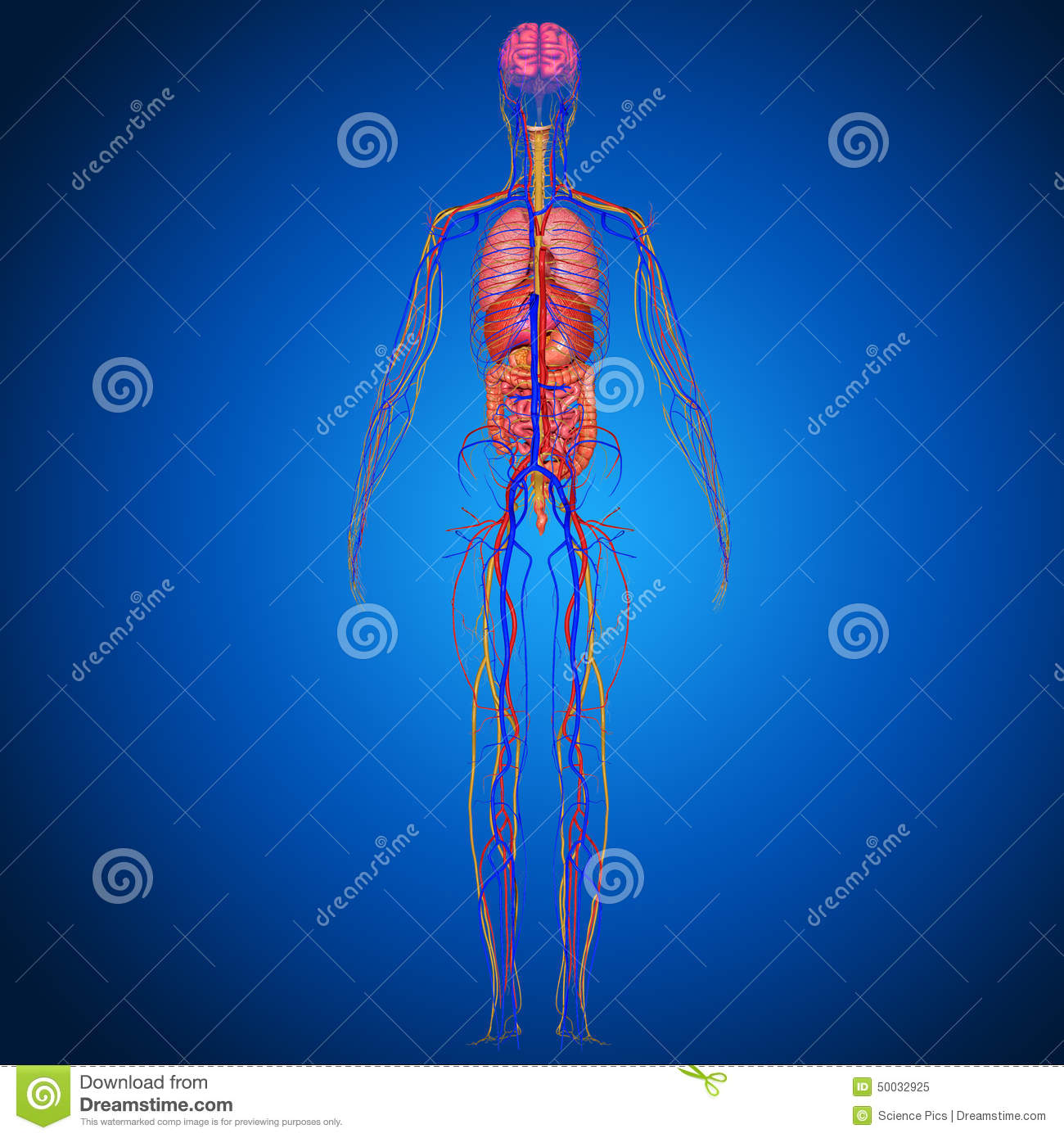 Human Anatomy stock illustration. Illustration of diagram - 50032925