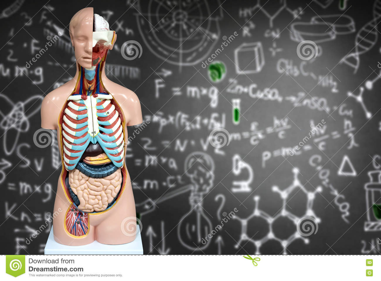 Human Anatomy Mannequin On The Background Of Chemical Formulas Stock