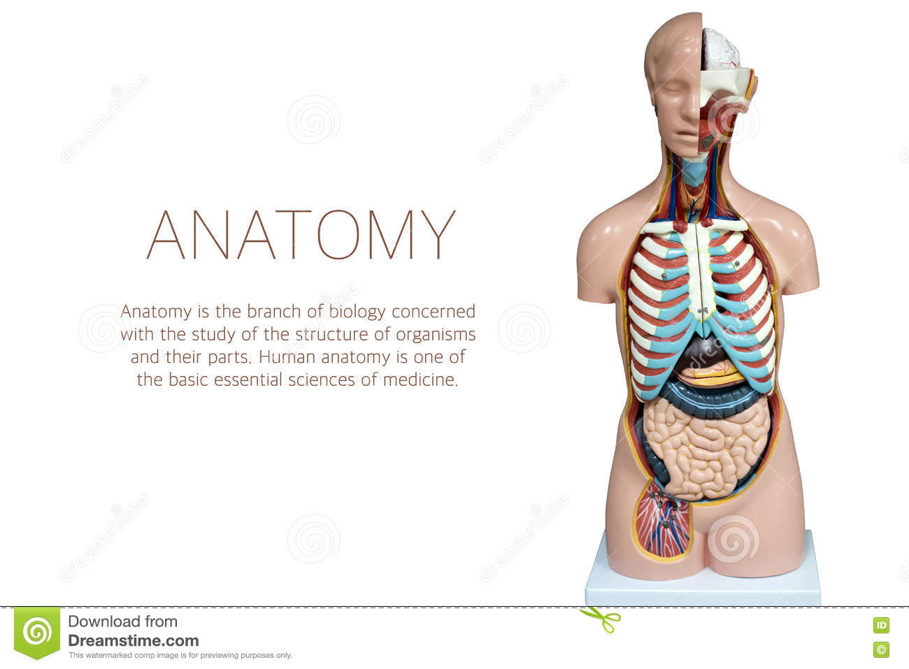Human Anatomy Mannequin Isolated On White Background Stock Image