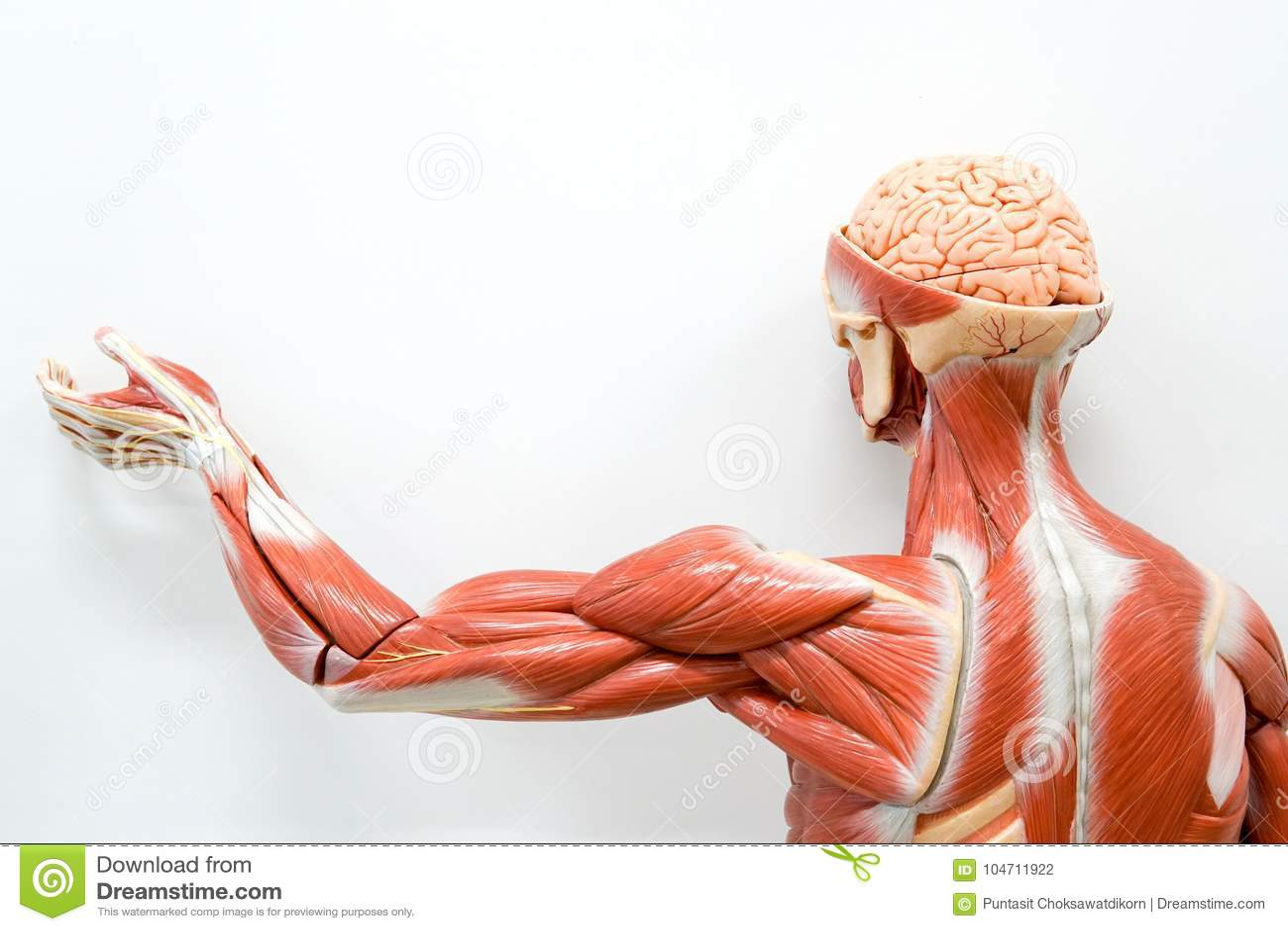 Human anatomy model stock photo. Image of model, design - 104711922
