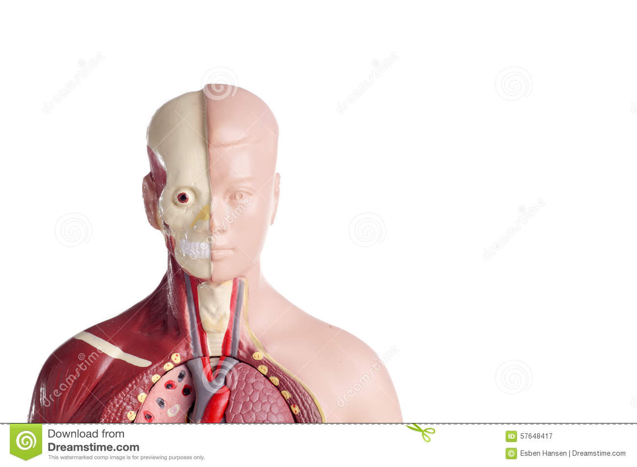 Human anatomy model stock image. Image of head, internal - 57648417