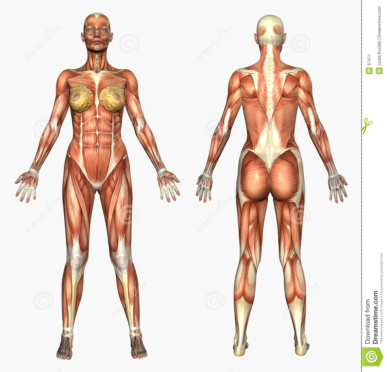 Human Anatomy - Muscle System - Female Stock Illustration ...