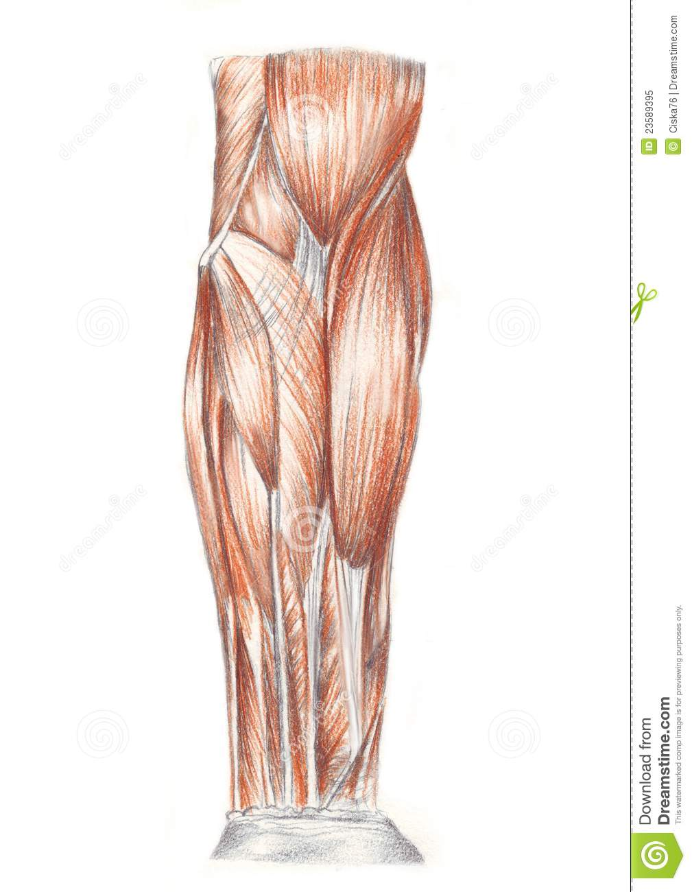 Human Anatomy Muscles Of The Arm Stock Illustration Illustration