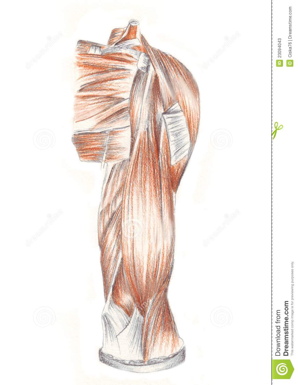Human Anatomy, Muscles Of The Back Shoulder Stock Illustration ...