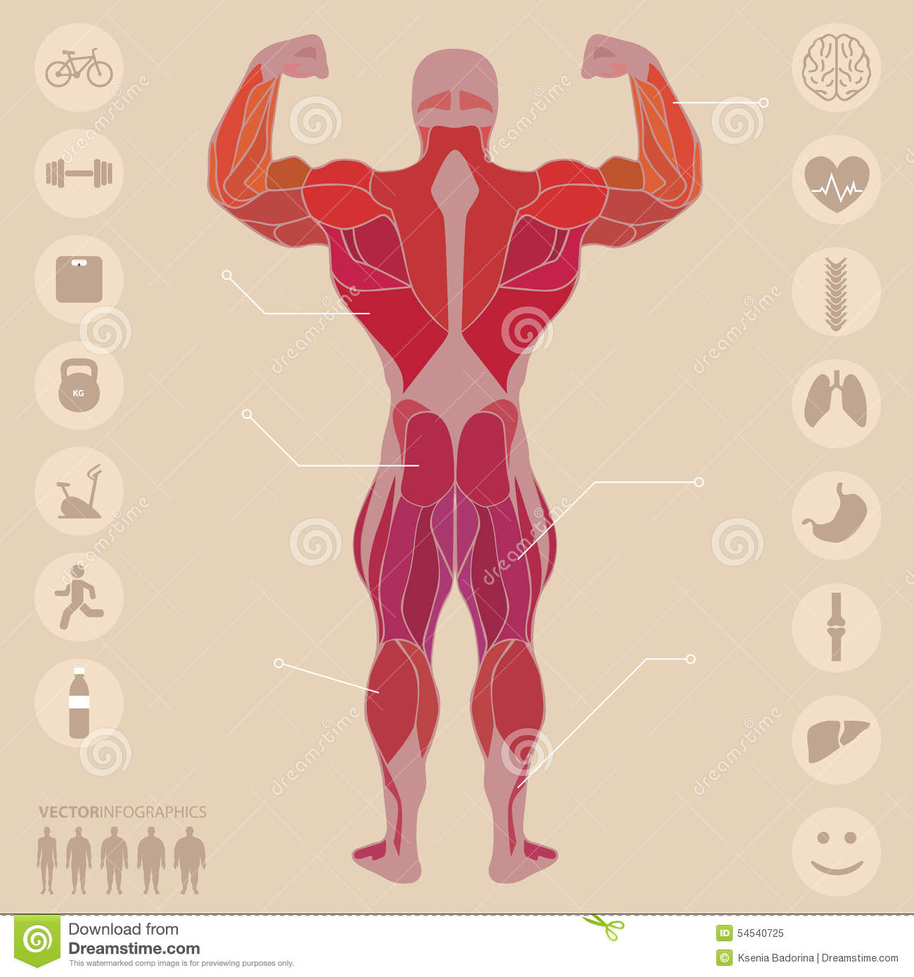 Human, Anatomy, Muscles, Back, Sports, Fitness, Medical, Stock ...