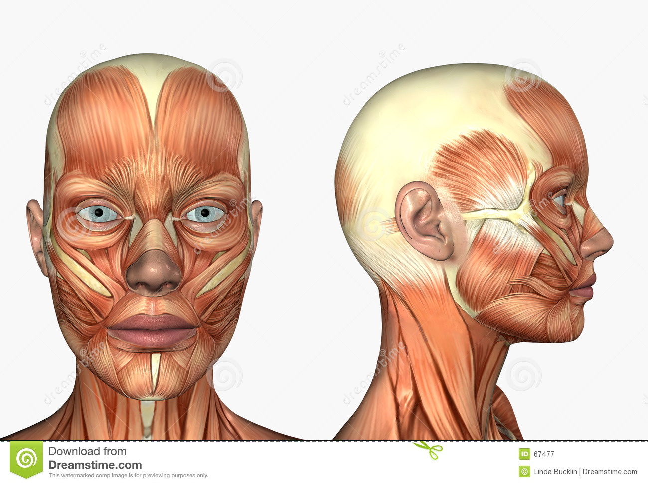 Human Anatomy - Muscles Of The Face Stock Illustration ...