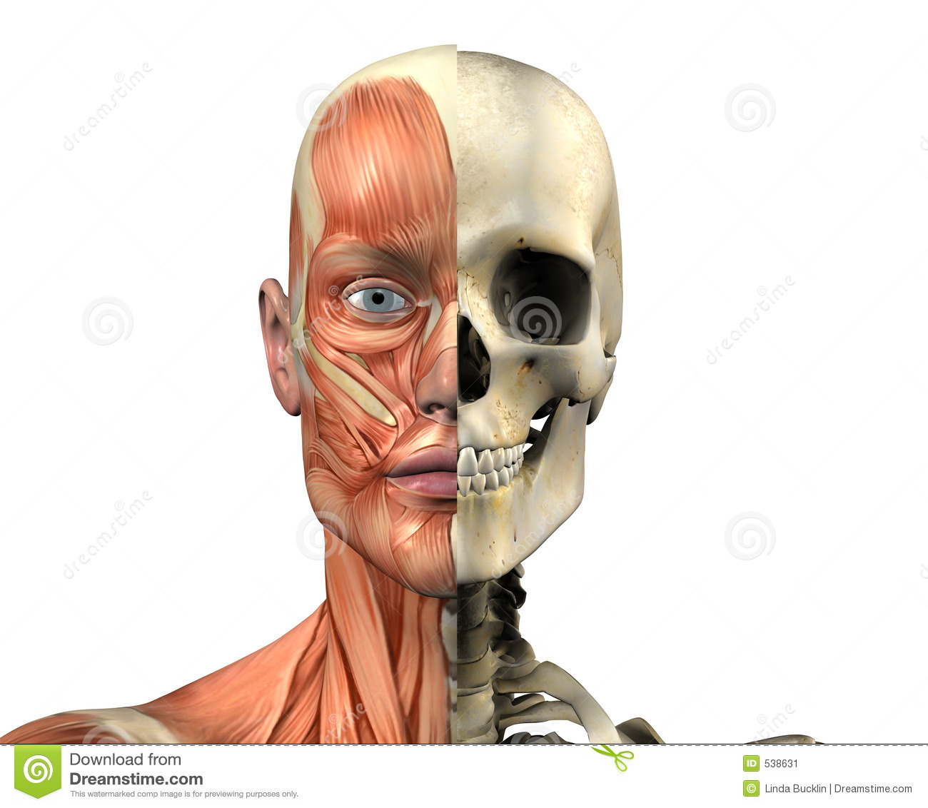 Human Anatomy - Muscles And Skull - With Clipping Path Stock ...