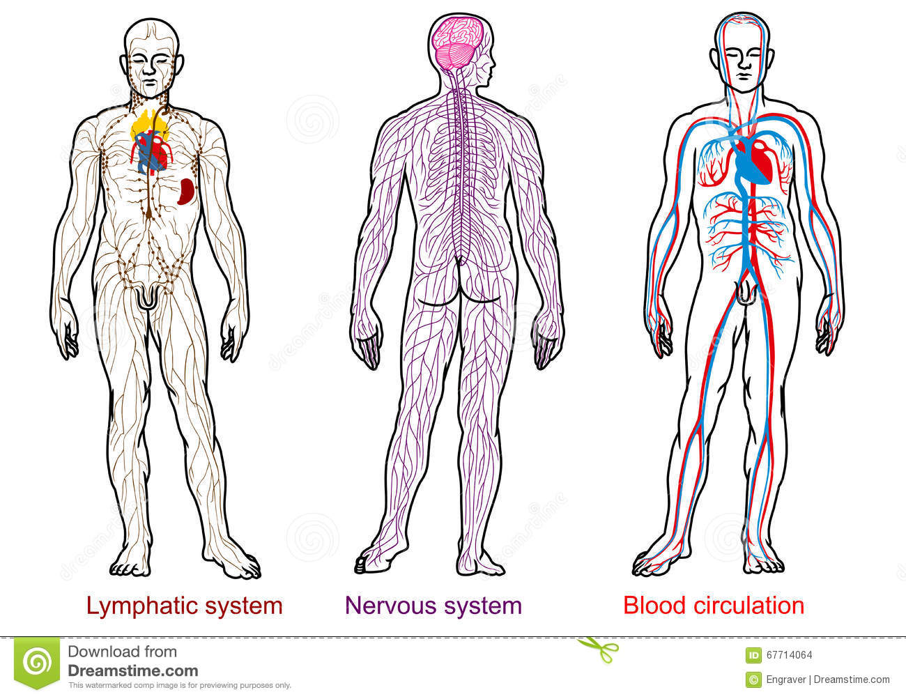 Human Anatomy Nervousbloodlymphatic System Stock Vector