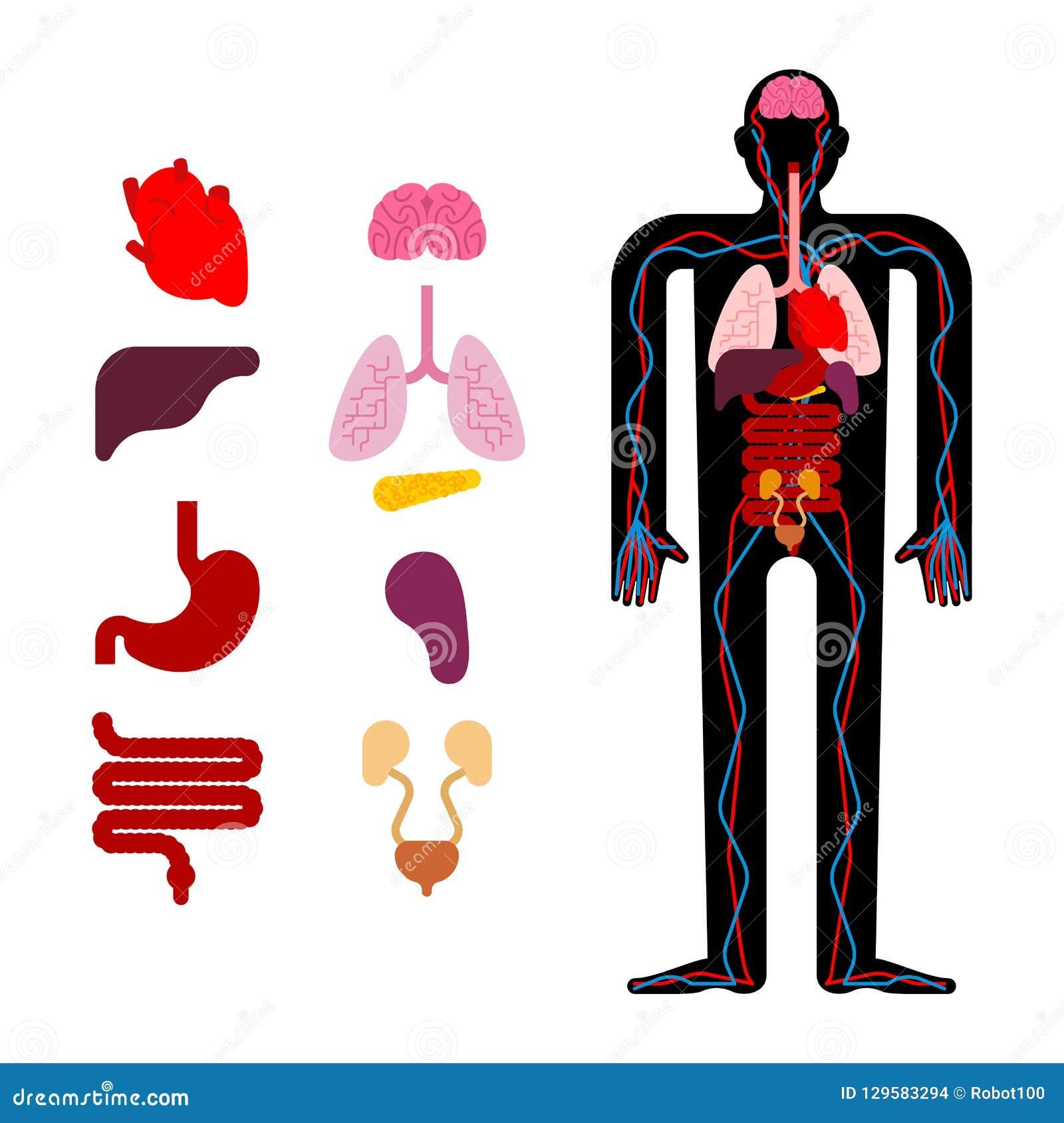 Human Anatomy Organs Internal Systems Of Man Body And Organs M