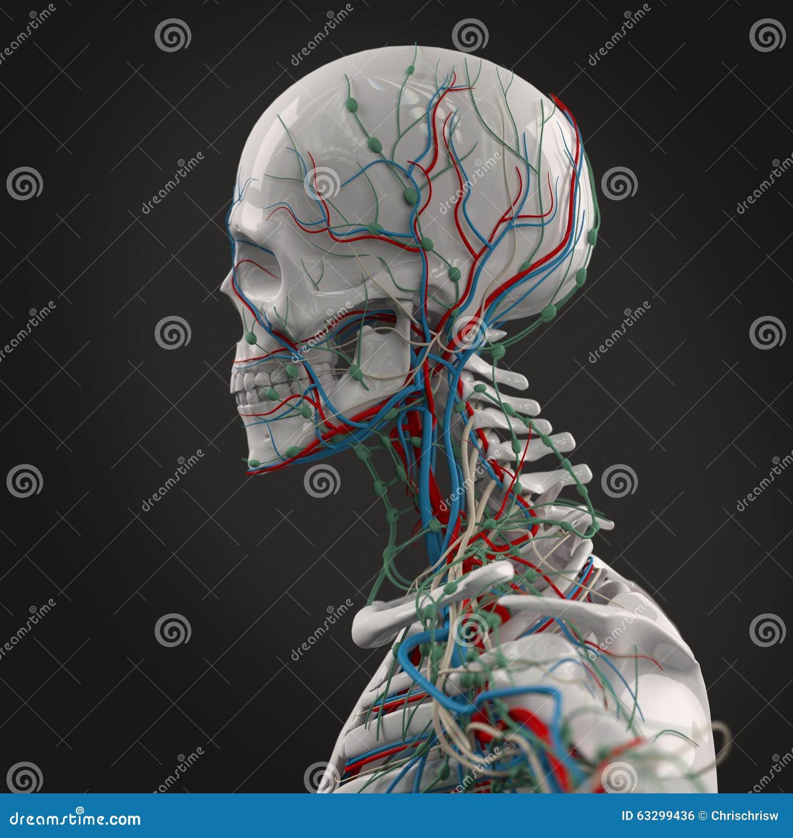 Human anatomy side view