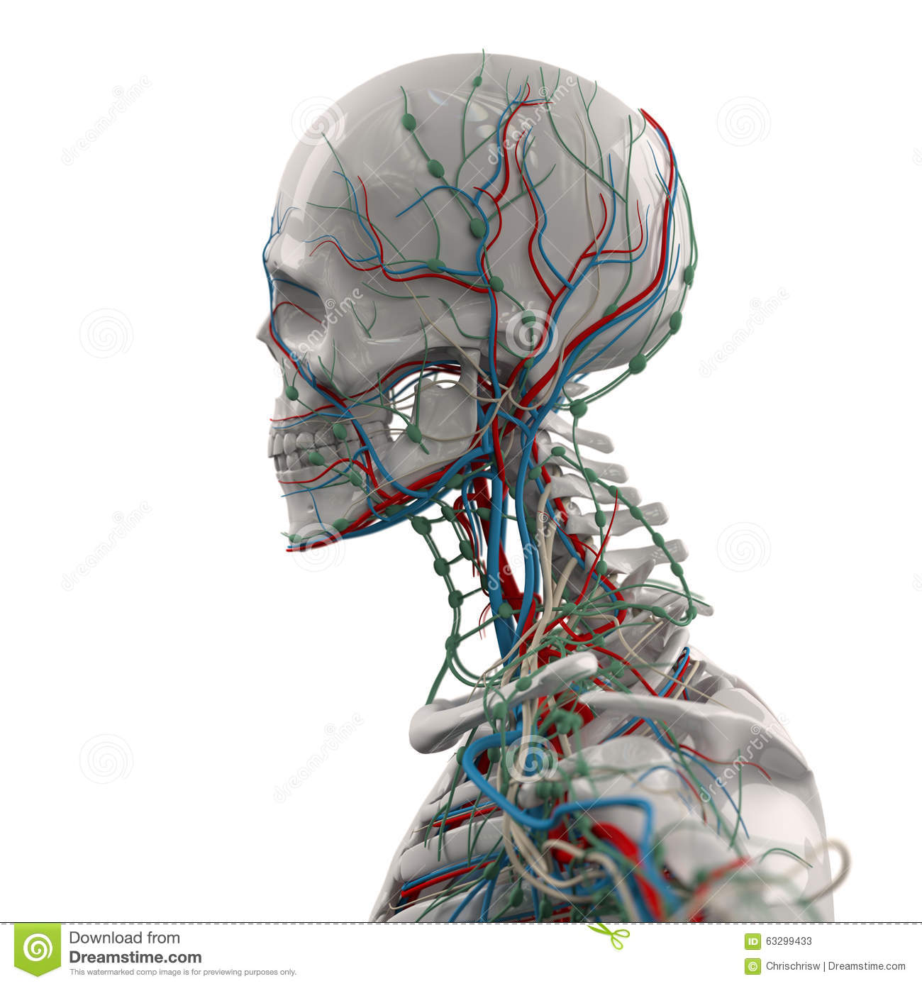 Human Veins Stock Photos Royalty Free Pictures