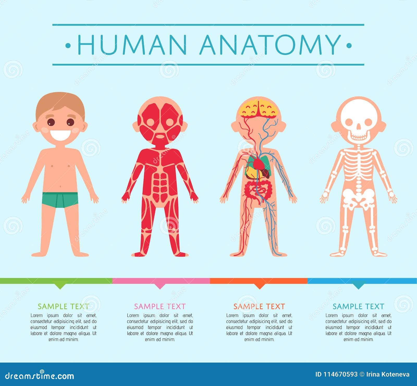 Human Anatomy Poster With Child Stock Illustration - Illustration of ...