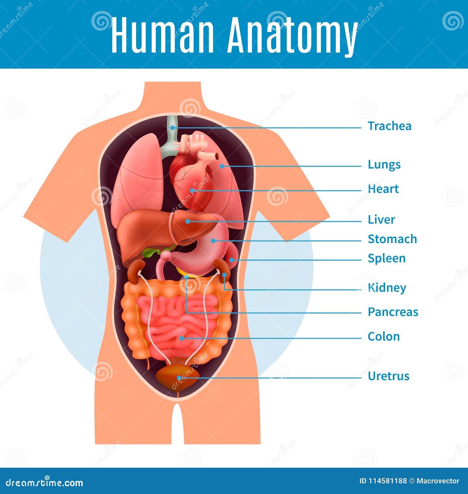 Human Anatomy Poster Stock Vector Illustration Of Anatomy 114581188