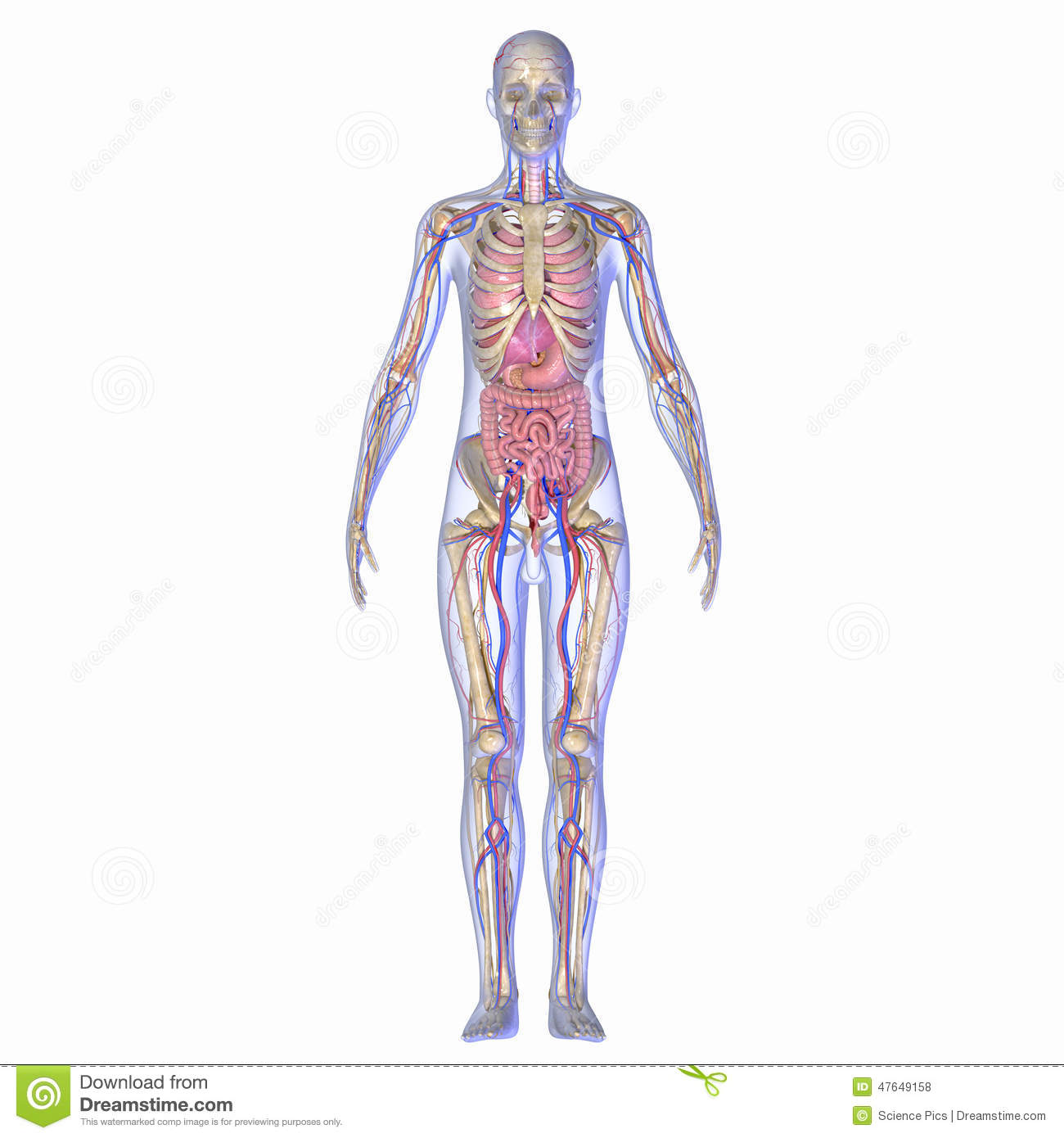 Human Anatomy stock illustration. Illustration of embryology - 47649158