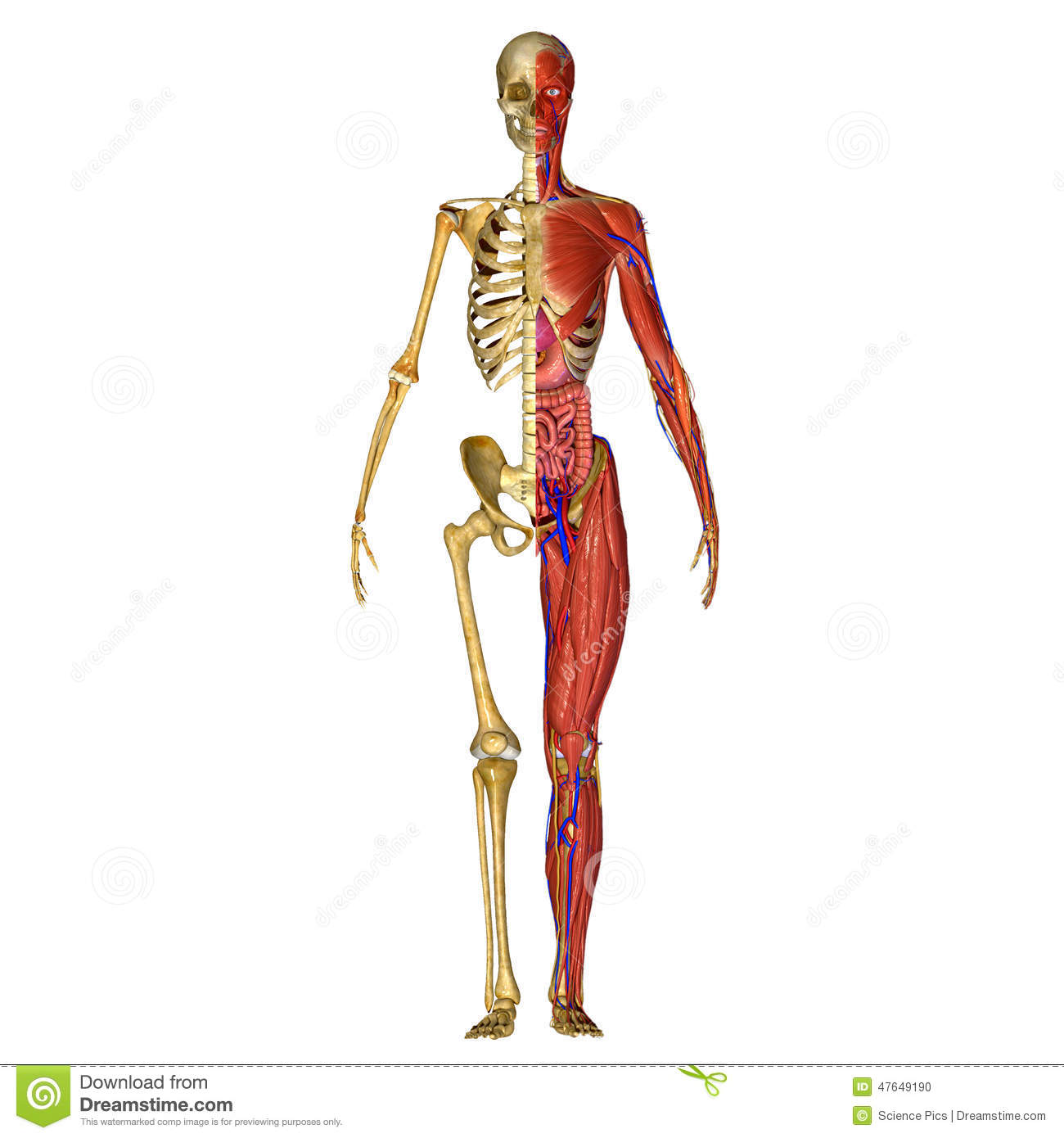 Human Anatomy Stock Illustration Illustration Of Blue 47649190
