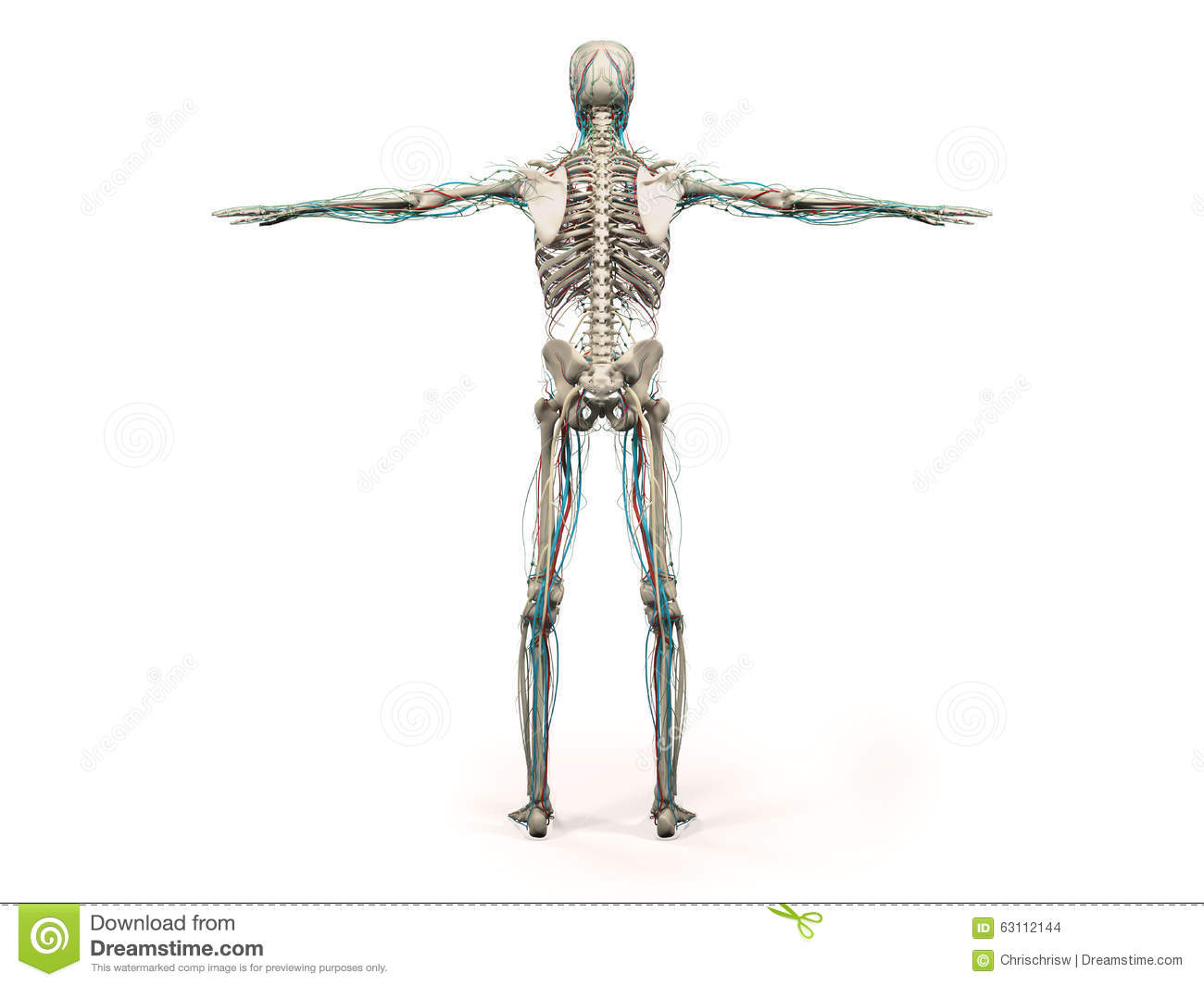 Human Anatomy Showing Back Full Body Head Shoulders And Torso