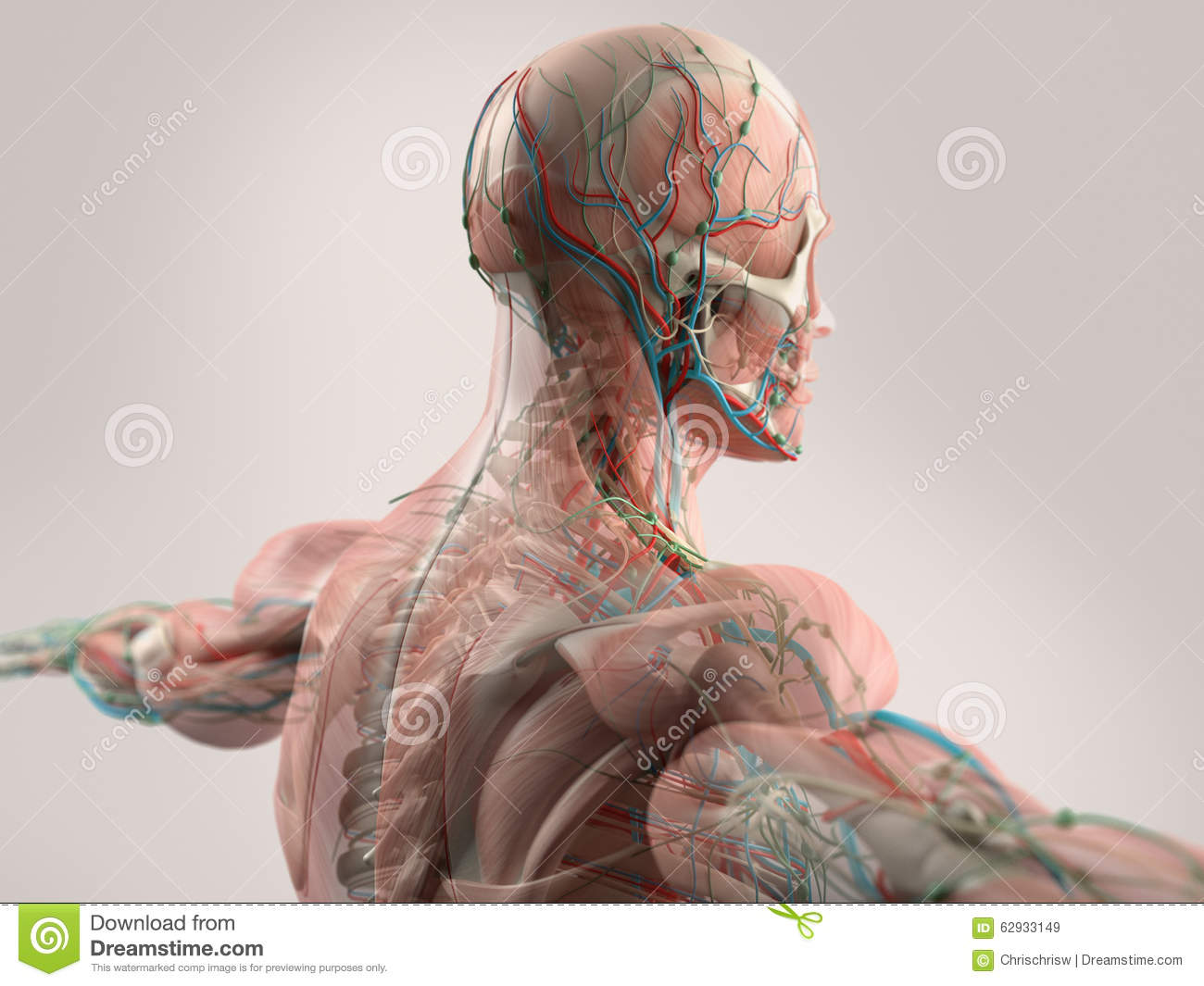 human anatomy showing face head shoulders and back