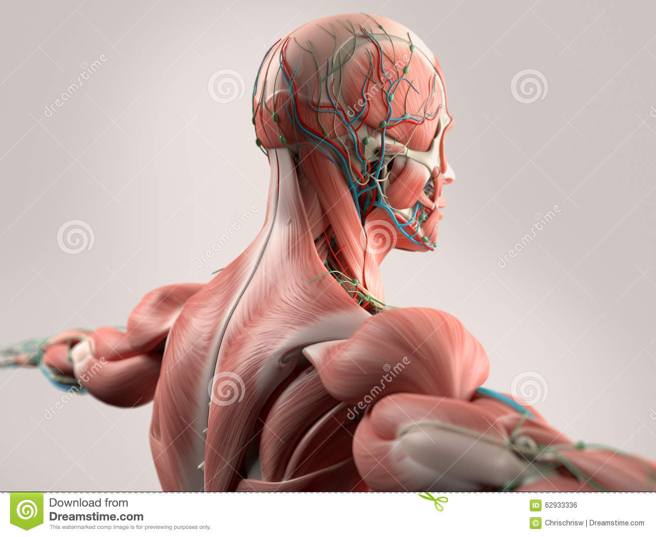 Human Anatomy Showing Face, Head, Shoulders And Back. Stock ...