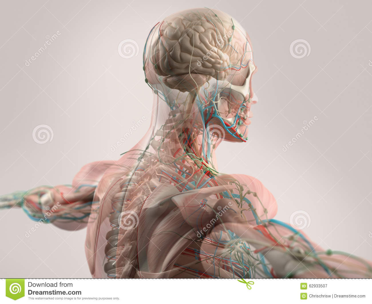 Human Anatomy Showing Face, Head, Shoulders And Back Stock ...