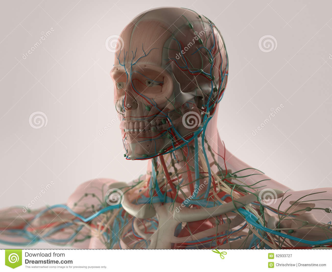 Human Anatomy Showing Face Head Shoulders And Chest Stock