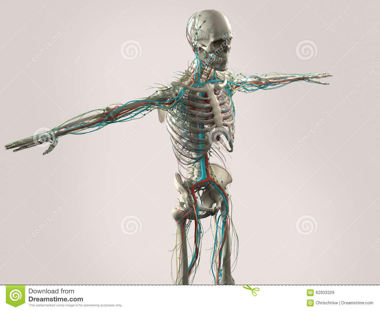 Human Anatomy Showing Face Head Shoulders And Torso Stock