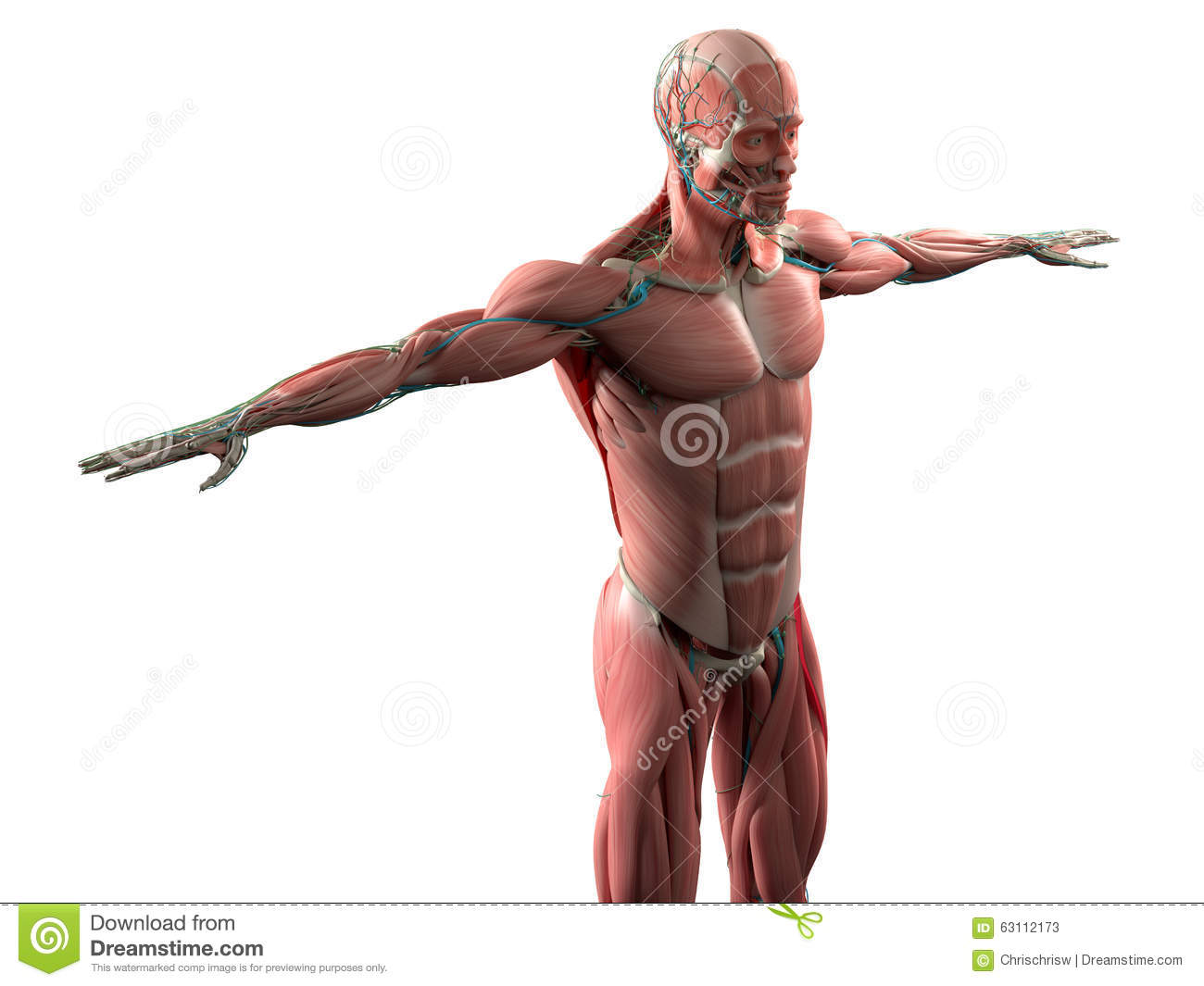 Human Anatomy Showing Face Head Shoulders And Torso Muscular