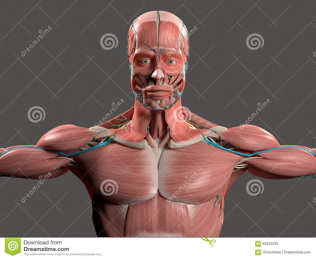 Human Anatomy Showing Face, Head, Shoulders And Torso. Stock ...
