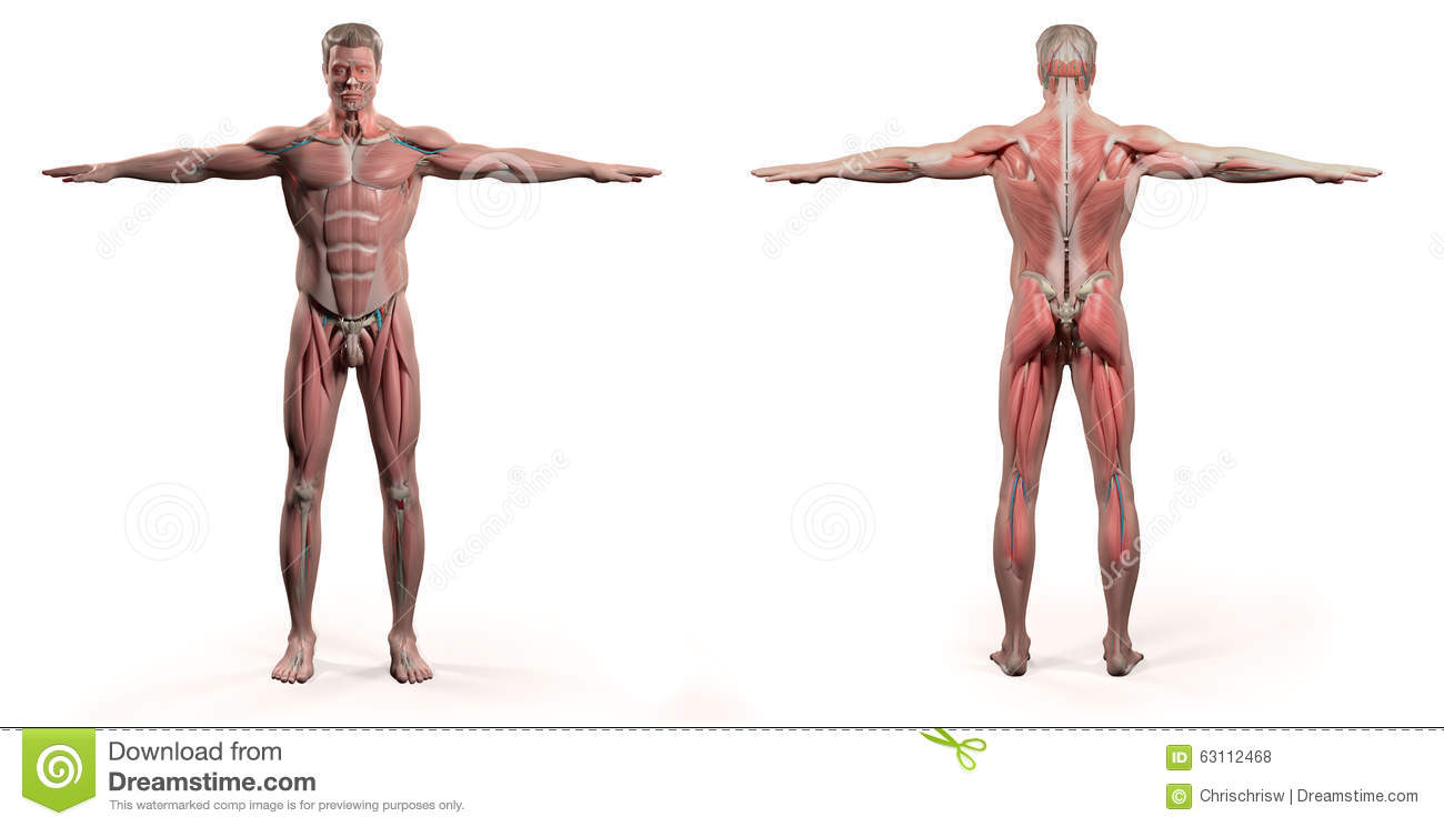 Human Anatomy Showing Front And Back Full Body Stock Illustration