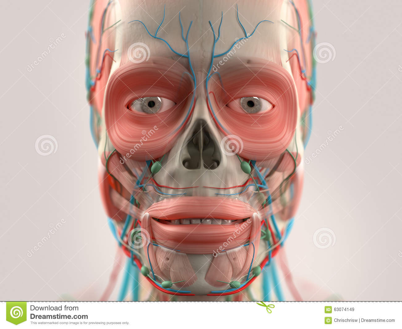 Nose anatomy stock vector. Illustration of cords, laryngopharynx ...