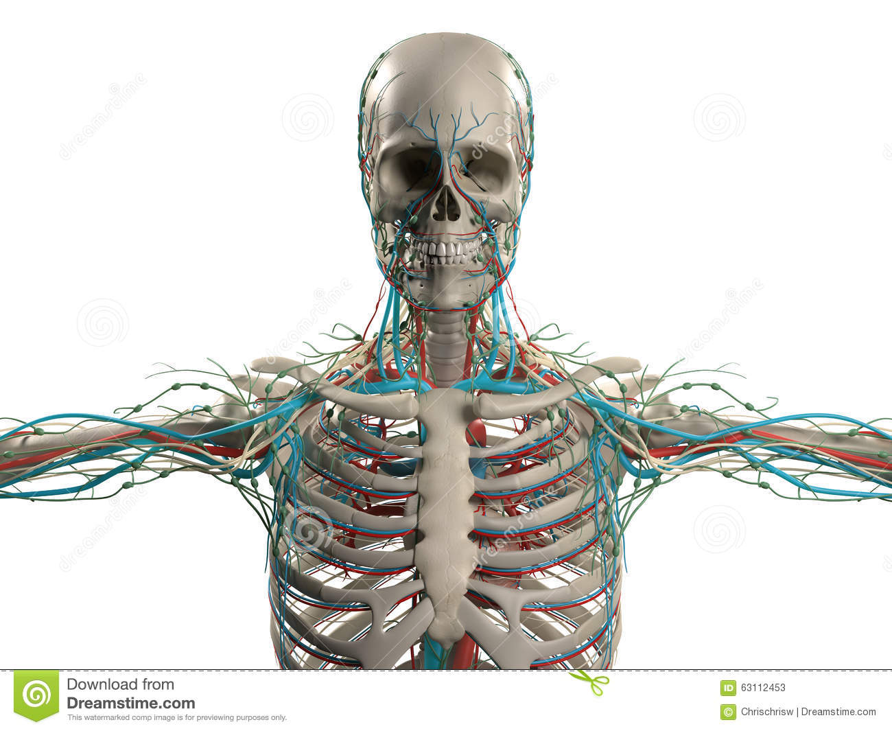 Human Anatomy Showing Head Shoulders And Torso Bone Structure