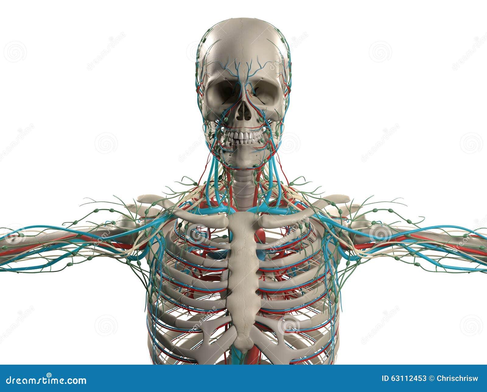 human anatomy showing head, shoulders and torso, bone structure