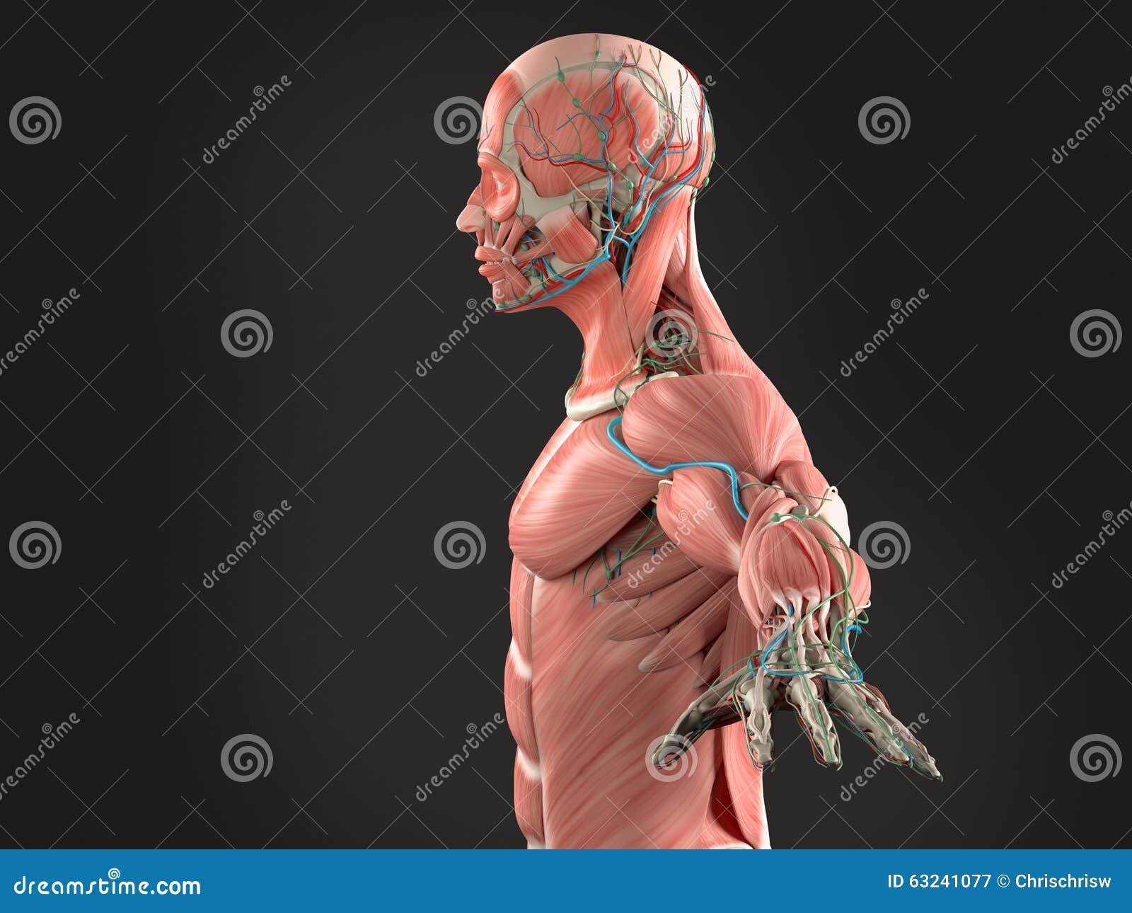 Human Anatomy Side View Of Head On Dark Background Stock