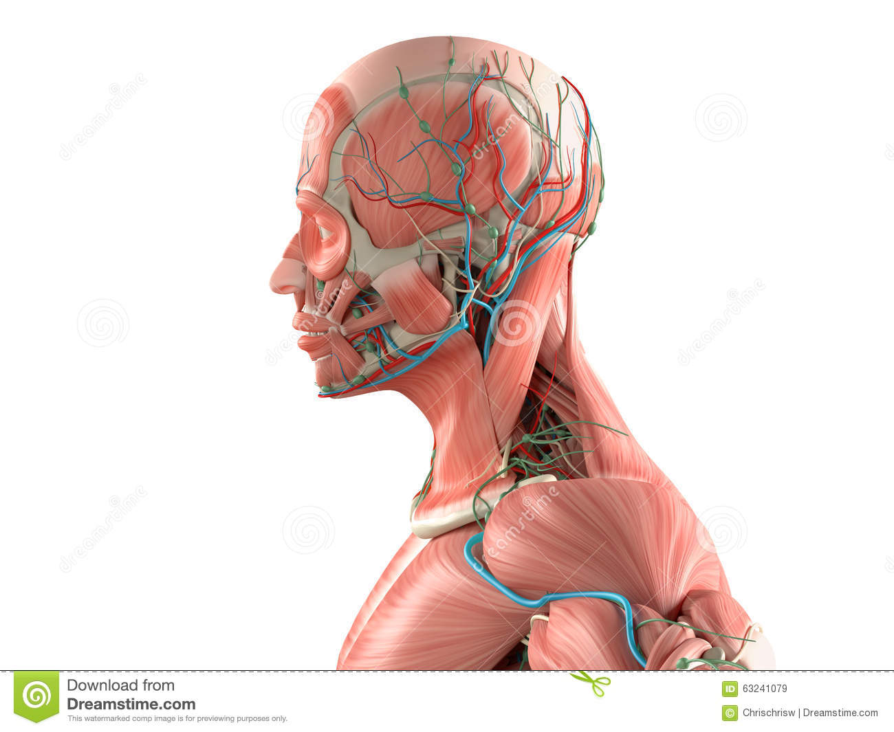 Side Head Muscle Diagram All Kind Of Wiring Diagrams