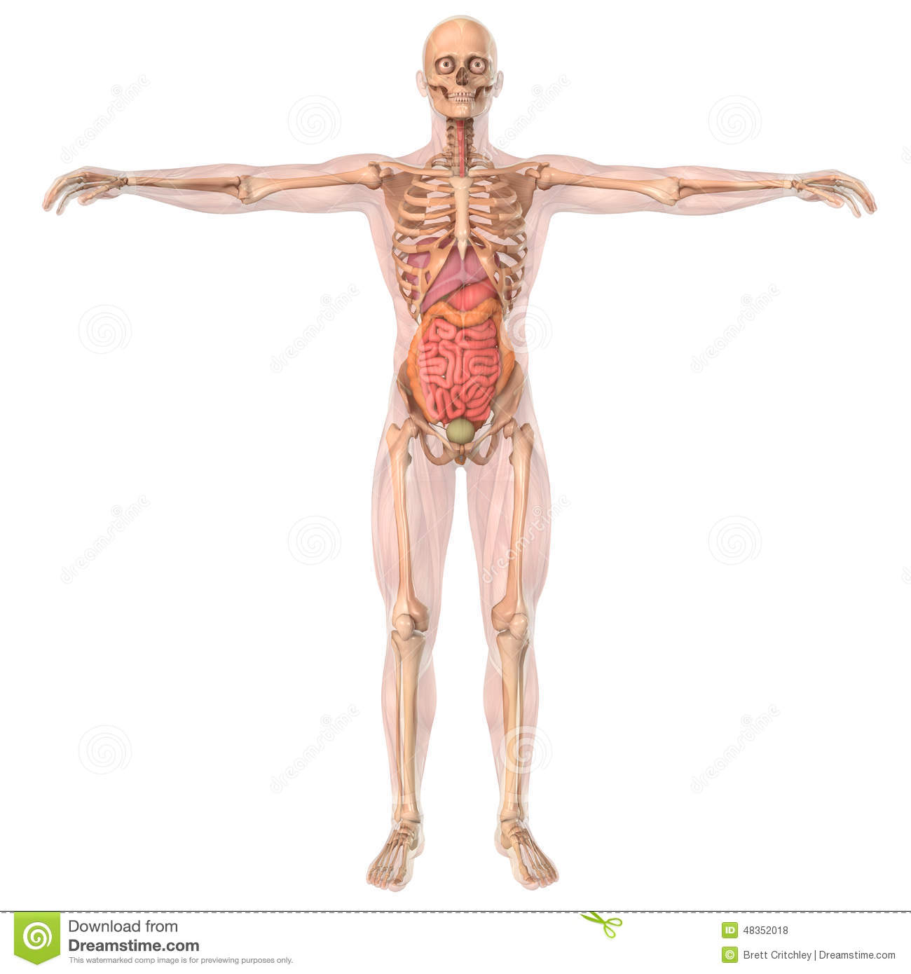 Human Anatomy Skeleton And Organs Stock Illustration - Illustration ...