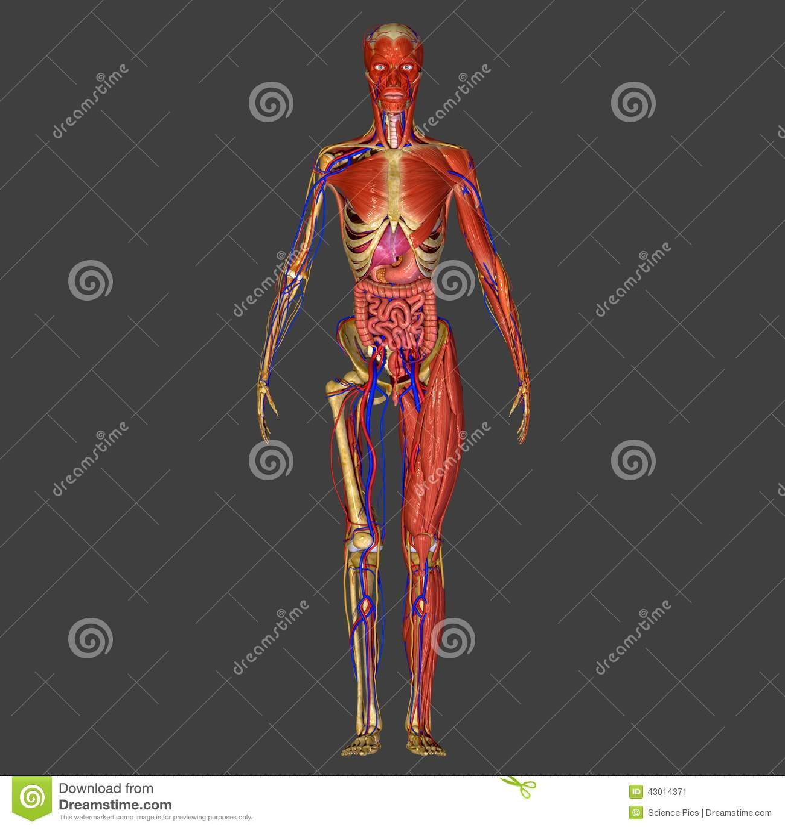 Human Anatomy stock illustration. Illustration of anatomy - 43014371