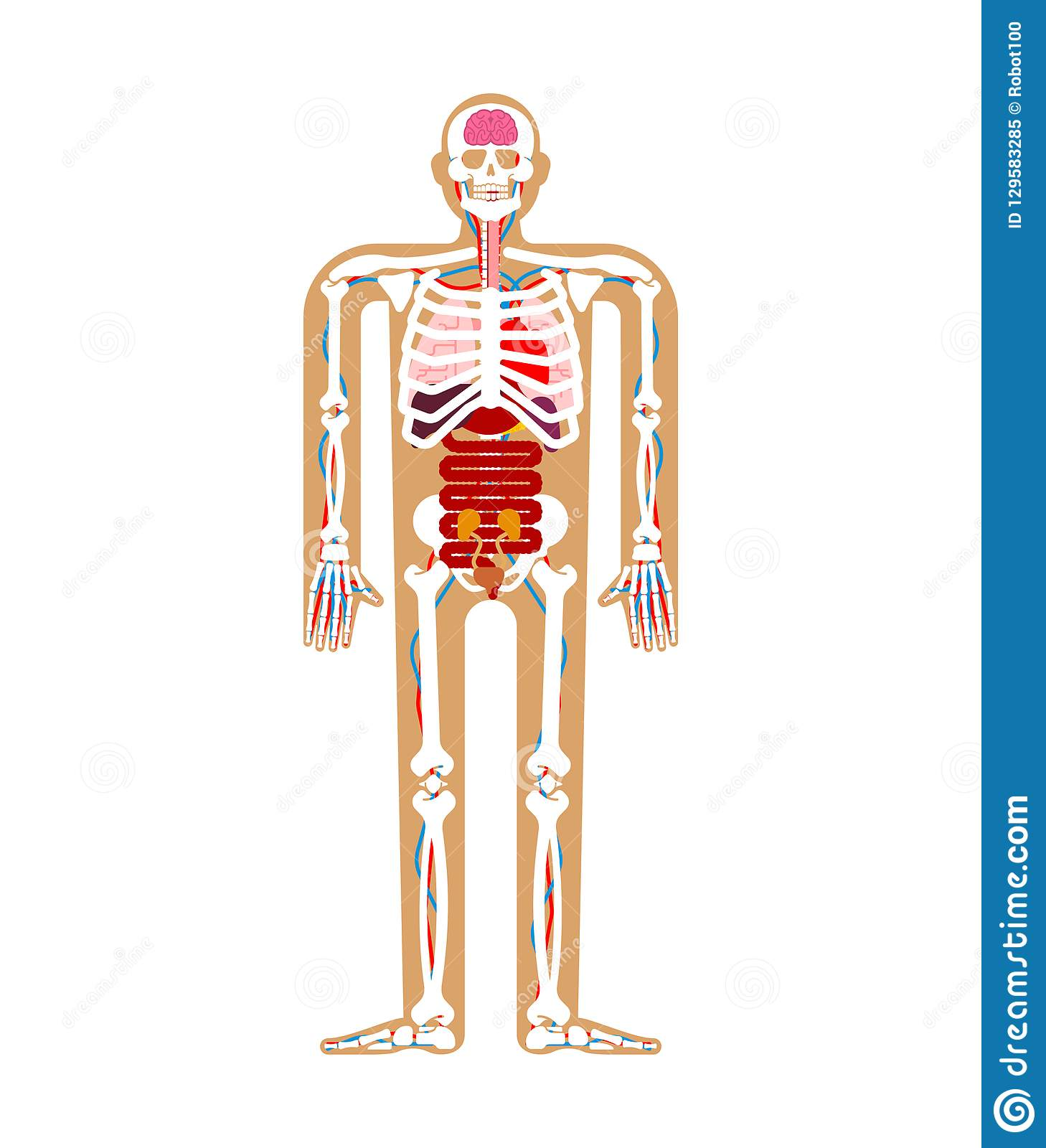 Human Anatomy System Skeleton And Internal Organs Systems Of M