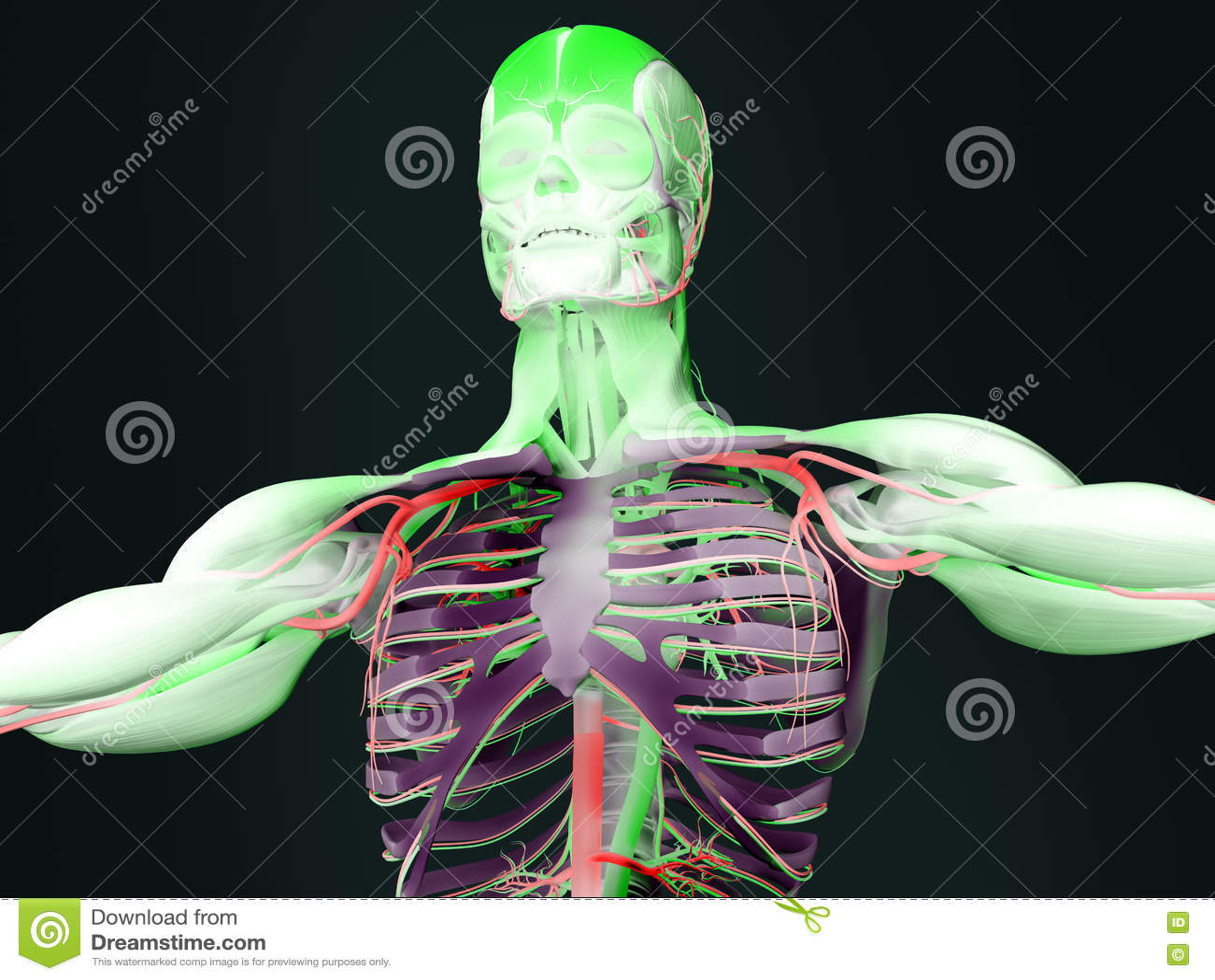 Human anatomy torso stock illustration. Illustration of artistic ...